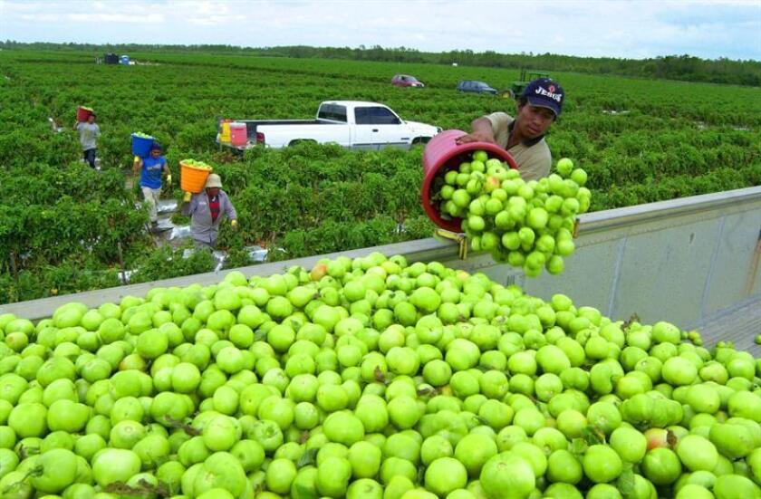 Los grandes agricultores del país prometen presionar al presidente electo, Donald Trump, para que trabaje en favor de una reforma migratoria que les permita obtener mano de obra inmigrante y mantener así la producción de sus granjas a precios competitivos. EFE/ARCHIVO