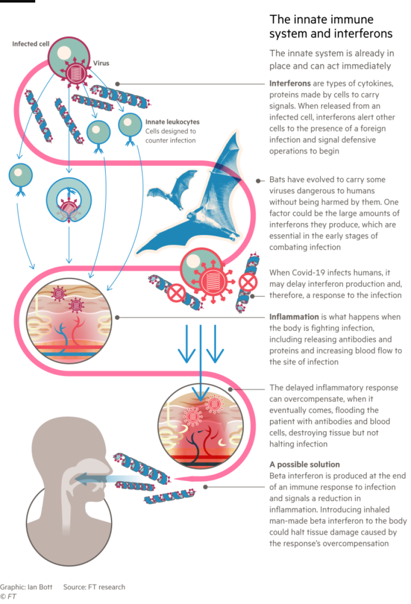A graphic depicting the innate immune system and interferon.