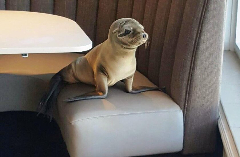 A sea lion pup who wandered into the Marine Room restaurant in La Jolla on Feb. 4 is recovering. SeaWorld's rescue team found the marine mammal, an 8-month-old female, sleeping in a booth.