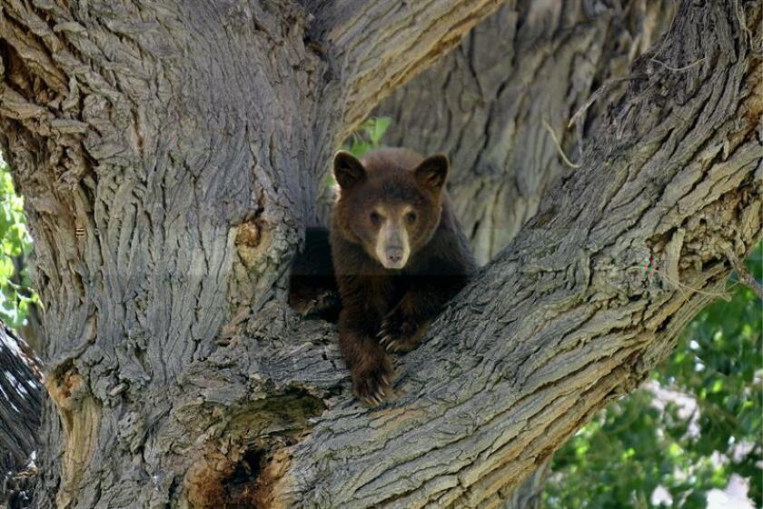 """El grupo South Florida Wildlands señaló hoy que el proyecto de energía solar """"La ciudad del futuro, en el sur de Florida (EE.UU.) """"es trágico"""" para la pantera, el oso negro, la serpiente del índigo y el pájaro carpintero. En la imagen un cachorro de oso negro permanece sobre un árbol en una reserva natural en California (EEUU). EFE/ARCHIVO"""