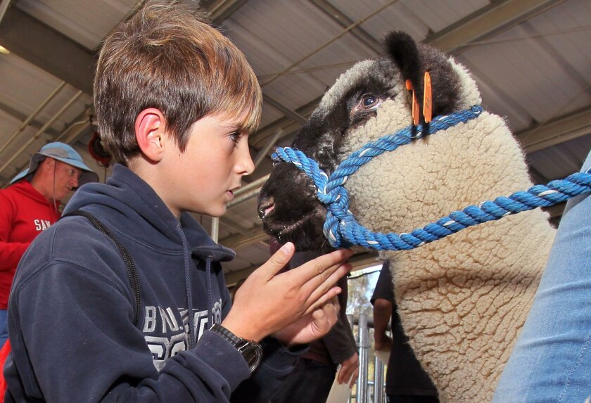 Middle school student Austin Cowan gets acquainted with Chunk the sheep at the agriculture department at Escondido High School on Thursday.