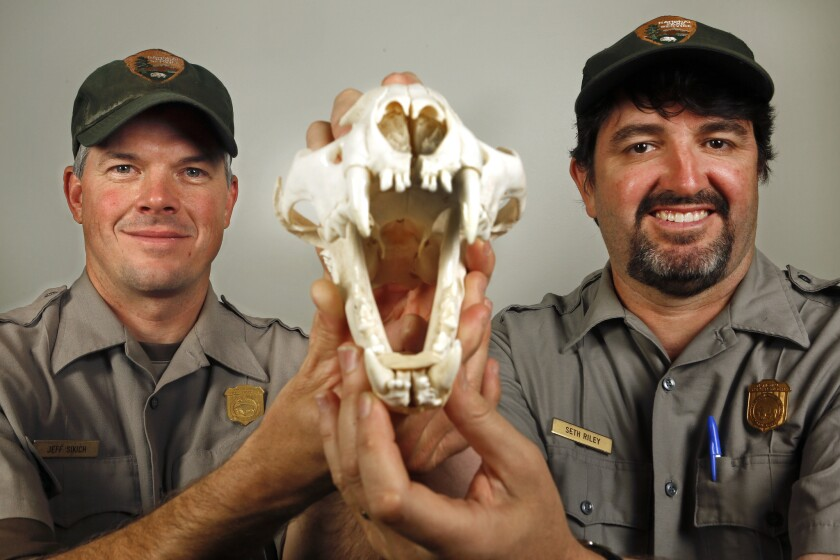 Jeff Sikich, left, biologist for the National Park Service, and Seth Riley, wildlife ecologist, at their headquarters in Thousand Oaks holding the skull of a mountain lion found in the Santa Monica Mountains.