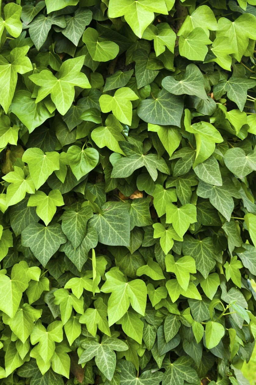 Ivy smothers everything in its path, and is a favorite habitat for rats.