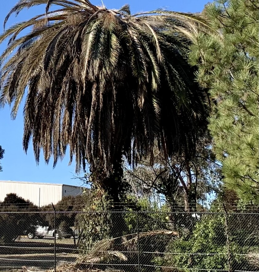 A dead Canary Island palm tree in Point Loma.
