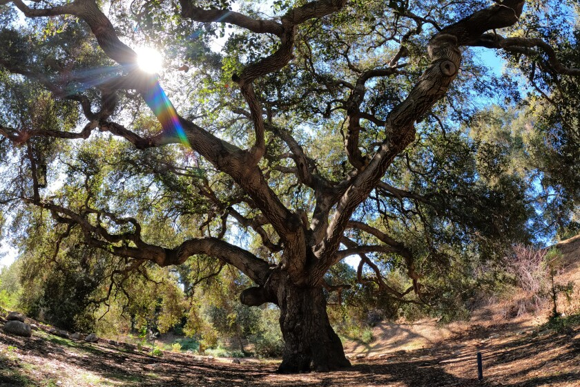 Sun shines through the branches of a Coast live oak tree.