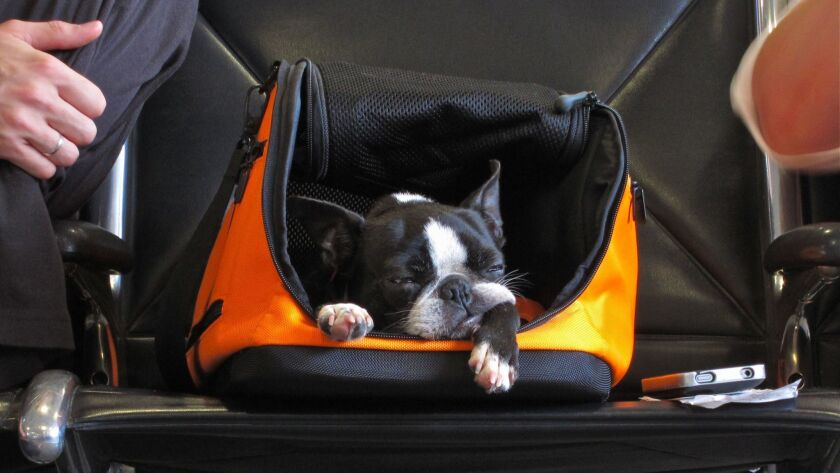 Dog rests in its carry-on container at airport.