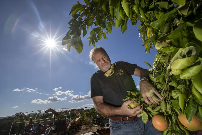 Vince Bernard inspects star ruby grapefruit at Bernard Ranches in Riverside.