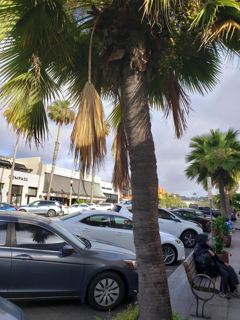 These palm trees in various conditions can be seen on Girard Avenue in La Jolla.