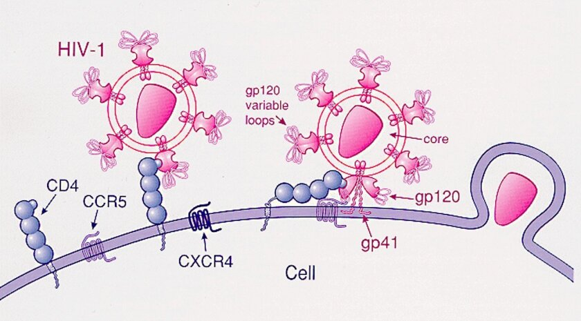 How HIV infects a CD4+ T-helper cell.  (1) The gp120 viral protein attaches to CD4. (2) The gp120 variable loop attaches to a coreceptor, either CCR5 or CXCR4. (3) HIV enters the cell.