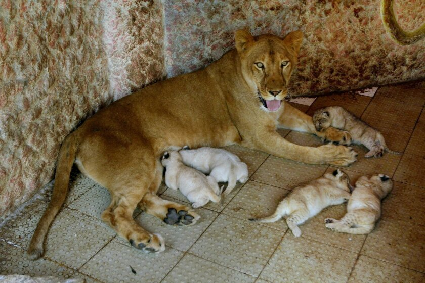 African lioness named Rani, or Queen, sits with her newly born five cubs at the house of her owner who has grown her as a pet, Thursday, March 26, 2015, in Multan, Pakistan. The African lioness has given birth to five healthy cubs. Lions normally have litters of two or three cubs. (AP Photo/Asim Ta