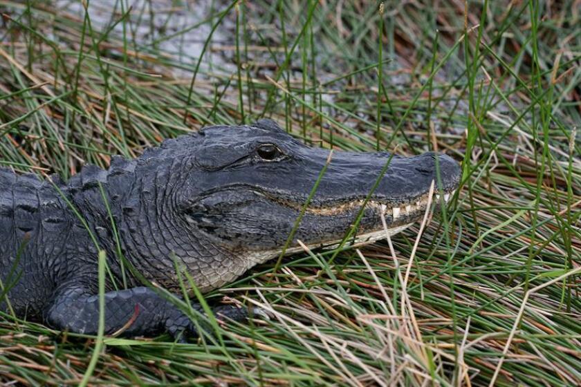 Un caimán mordió en una pierna a un hombre de unos 30 años en un parque del condado de Orange, en el centro de Florida, mientras este recogía un objeto del agua, informó hoy un medio local. EFE/ARCHIVO