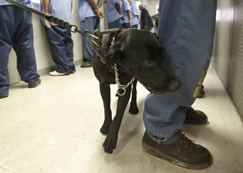 Bentley, a 3-year-old Labrador retriever, checks an inmate for traces of narcotics at California State Prison, Solano, in Vacaville, Calif.
