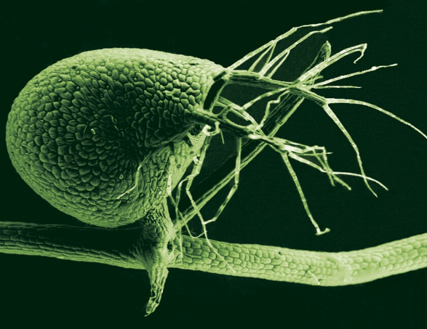 A scanning electron micrograph shows a tinted image of the Utricularia gibba's bladder, which it uses to suck in microscopic prey for nutrition. New research into the plant's genome shows that it contains almost no noncoding DNA -- demonstrating that a complex life form can function without the so-called junk DNA.