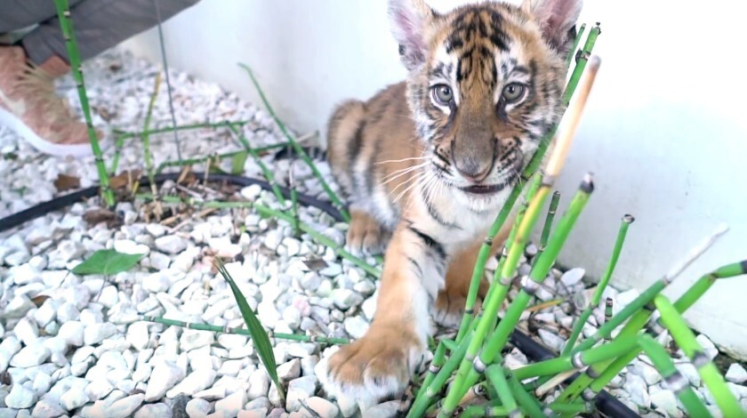 A man in possession of a tiger cub has been convicted on one count of unlawful possession of a restricted wild life animal.