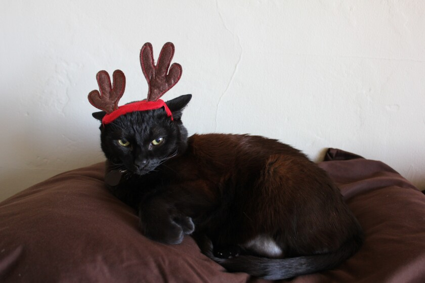 Coco the cat wearing antlers for the holidays.