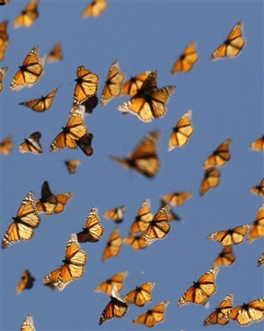This undated handout photo provided by the journal Science shows migrating monarch butterflies. How do Monarch butterflies find their way to Mexico every fall? Turns out they orient to light using their antennas. How do we know? Researchers painted butterfly antennas black and the insects got lost.
