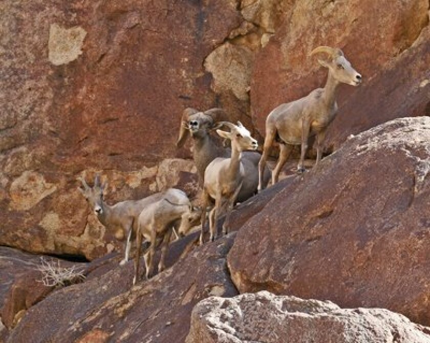 Peninsular bighorn sheep numbers rose dramatically in the lasted count at Anza-Borrego Desert State Park.