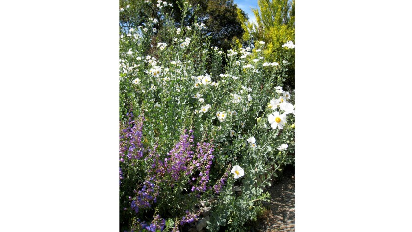 Matilija poppy, palo verde and penstemon are among natives available at the Theodore Payne Foundation annual spring plant sale.