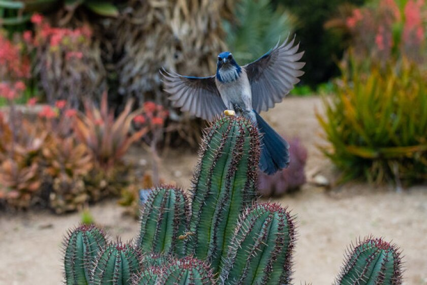 Western scrub jays, like this one at the Los Angeles County Arboretum & Botanic Garden, are among the species threatened by global warming.