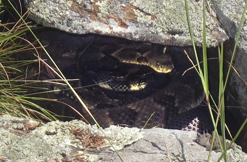 En esta imagen, dos víboras de cascabel se ocultan en una formación rocosa en el oeste del condado Rutland, en Vermont. Un hongo ha sido identificado como la causa de una misteriosa enfermedad que ha infectado a ciertas especies de serpientes en el este de Estados Unidos, amenazando a algunas poblaciones aisladas del reptil como la serpiente de cascabel de los bosques que se encuentra en el oeste de Vermont. (Foto AP/Wilson Ring, archivo)