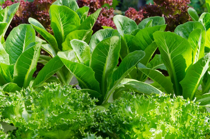 Lettuce and cabbage plants on a vegetable garden