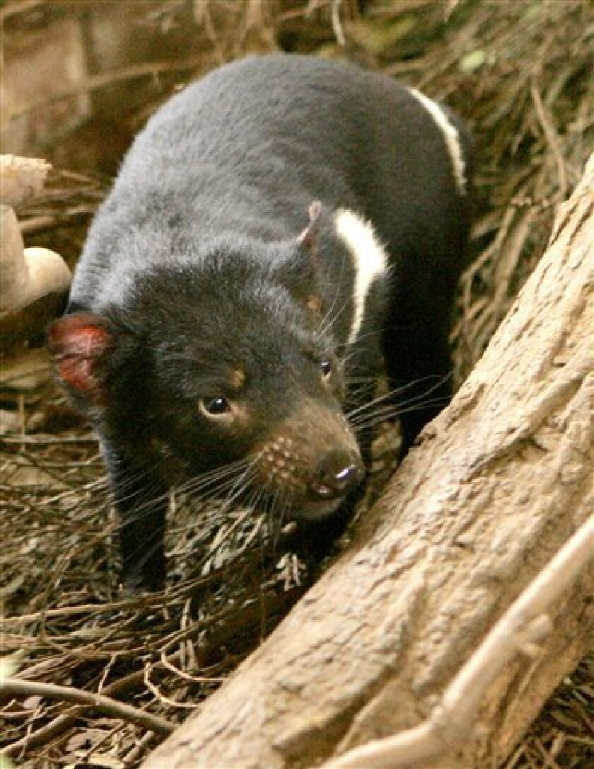 FILE - In this Wednesday, May 21, 2008 file photo, a Tasmanian devil searches for food in his enclosure at Taronga Zoo in Sydney, Australia. The Tasmanian devil population has plummeted by 70 percent since Devil Facial Tumor Disease was first discovered in 1996. (AP Photo/Rob Griffith, File)