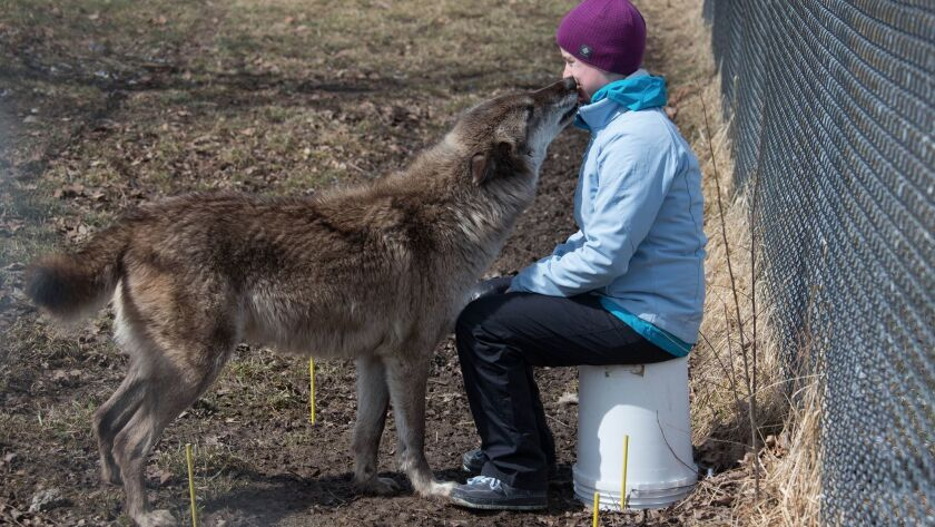 A socialized wolf briefly greets an unfamiliar experimenter.