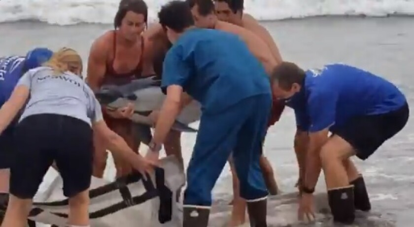 Lifeguards lift a dolphin into a canvas carrier Aug. 24 while trying to save the animal with a SeaWorld rescue team.
