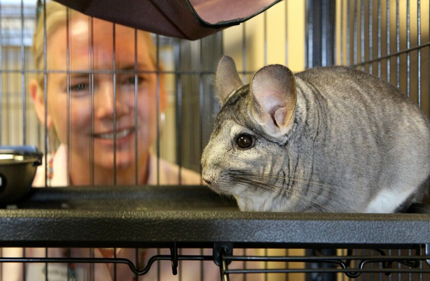 Austin Gates, the Senior Director of the San Diego Humane Society's Oceanside location, gets a close look at one of the more than 400 recently arrived chinchillas here and at the organization's San Diego location. They are all in individual cages.