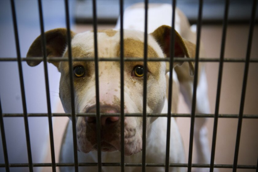 A pit bull looks out from a kennel for dogs waiting for owners or to be adopted at San Diego County's Kroc-Copley Animal Shelter in Linda Vista.