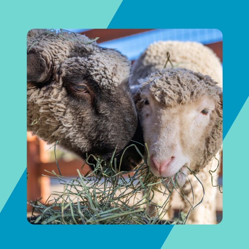 faces of two sheep eating grass