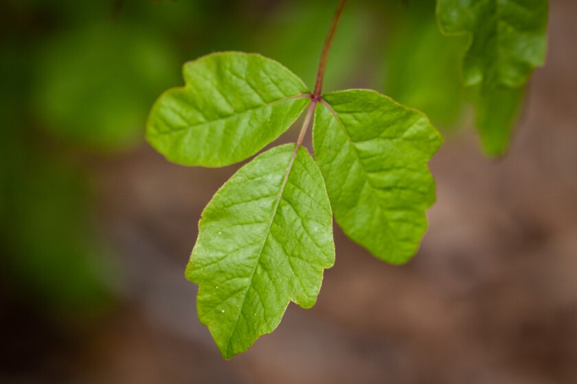 In San Diego, poison oak can be found from sea level to our highest mountains in just about any habitat.