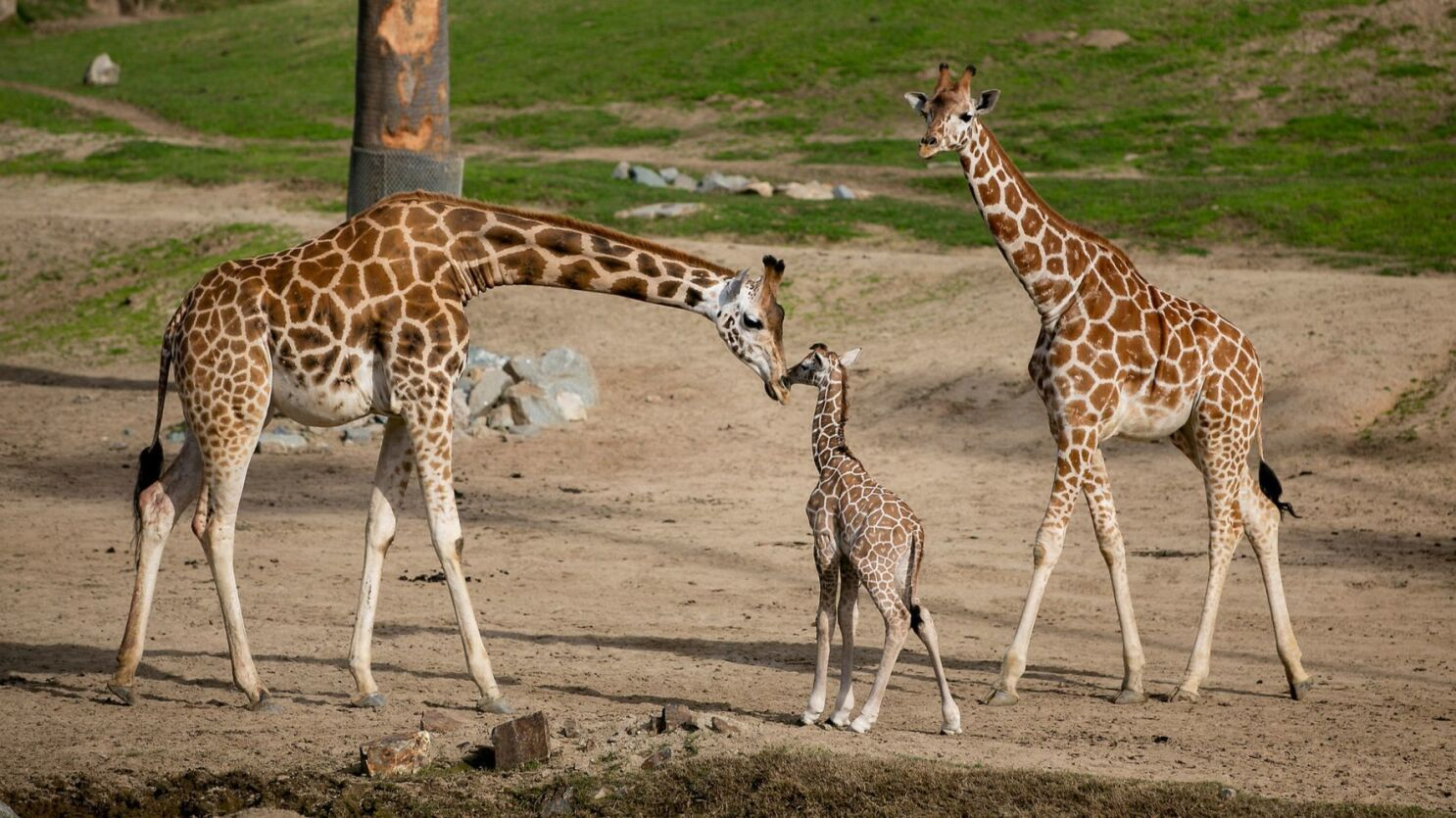 From A Wet And Wobbly Start Newborn Giraffe Joins San Diego Zoo
