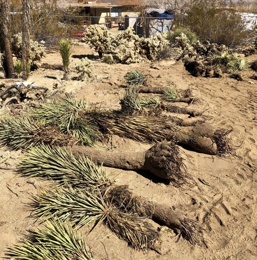 สามีภรรยาคู่หนึ่งซึ่งขุดดินและฝังต้นโจชัว 36 ต้นเพื่อหาทางสร้างบ้าน ถูกปรับ 18,000 ดอลลาร์เมื่อเร็ว ๆ นี้