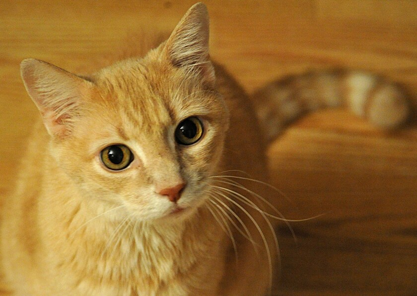 Domestic cats are not that far removed, genetically, from their wildcat cousins, new research says.