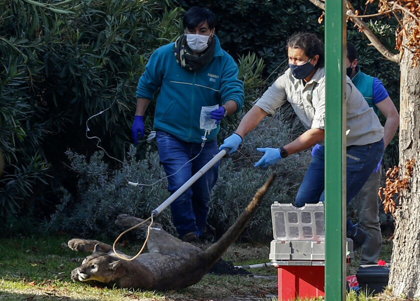 Animal control personnel capture a puma in the Lo Barnechea neighborhood, on the outskirts of Santiago, on August 19, 2020.