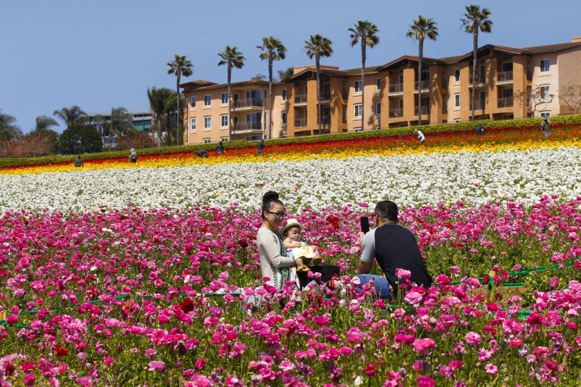 From Chula Vista, Lan Vo takes a family photo of his wife and daughter, Joy Vo and Kenzie at The Flower Fields in Carlsbad in 2016. The flower fields cover about 50 acres with giant Tecolote Ranunculus flowers. (Nelvin C. Cepeda/Union-Tribune)