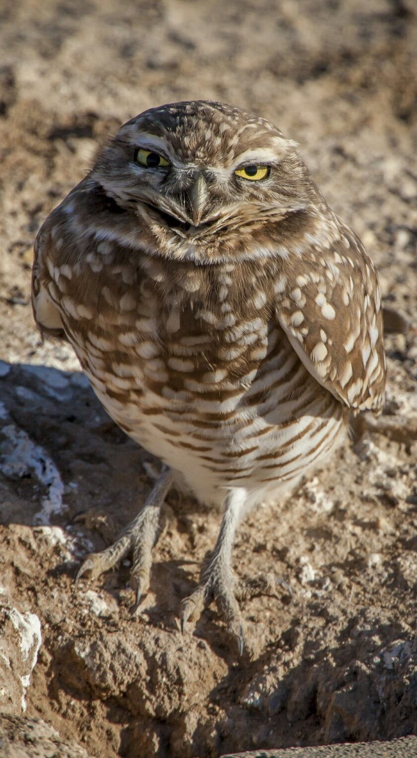 One of the popular resident birds at the Sonny Bono Salton Sea Wildlife Refuge is the burrowing owl.