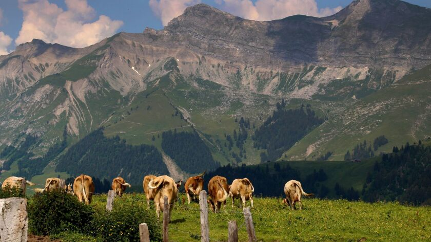 Contented cows feast on fresh grass throughout the summer season, giving their milk (and resulting c