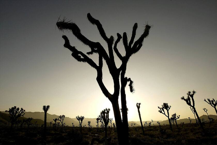 Rain Brings Some Relief to Dying Joshua Trees