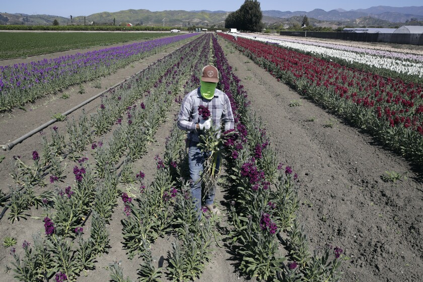 In April, a farmworker covers his face as he works at a flower farm in Santa Paula.