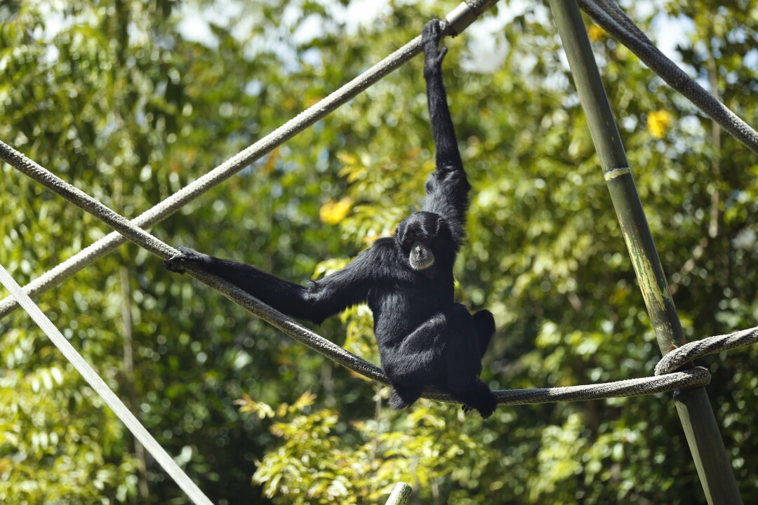 A siamang sits on a structure at the San Diego Zoo on May 19, 2020. The zoo has been closed during the coronavirus pandemic but workers have been caring for the animals.