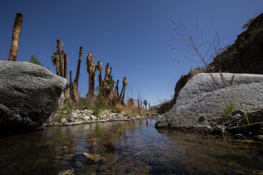 Dead-looking fan palm trees line a creek.