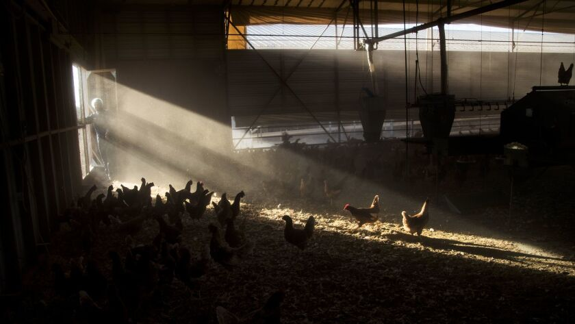 NUEVO, CA - NOVEMBER 9, 2017: Chickens roam freely as afternoon light streams into the hen house as