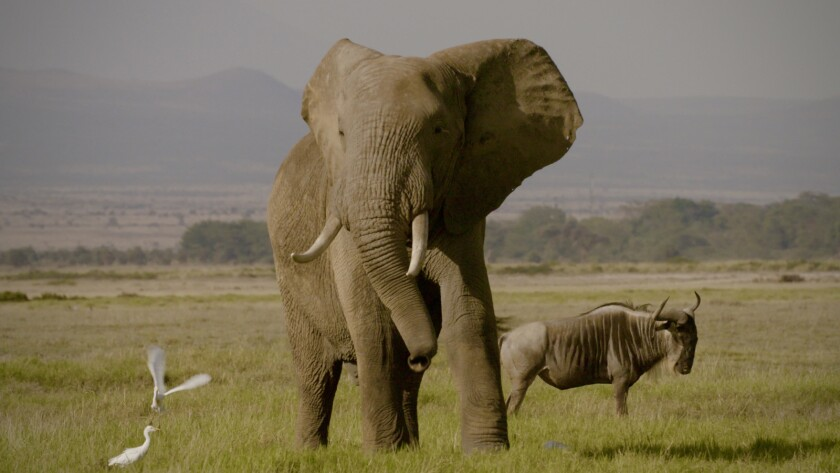 "An elephant and wilderbeast in the documentary ""The Ivory Game."""