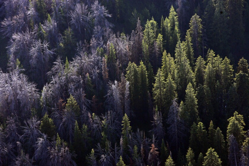 This Aug. 1, 2011, file photo shows whitebark pine that have succumbed to mountain pine beetles east of Jackson Hole, Wyo.