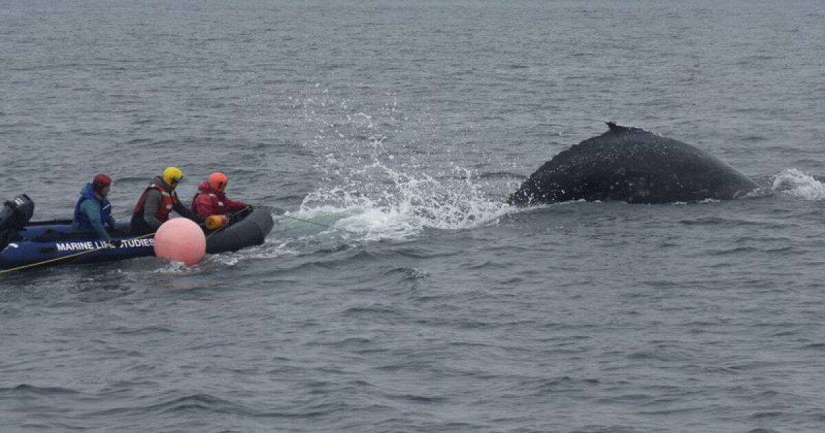 救助者は無料ではザトウクジラの絡まる漁具の近くのモントレー