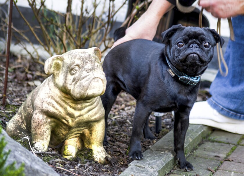 Edda the pug is pictured in Duesseldorf, Germany, on Feb. 27, 2019. Officials in Germany are defending their decision to seize an indebted family's pet pug and sell it on eBay, saying the move was a last resort because authorities were unable to find anything else to take.