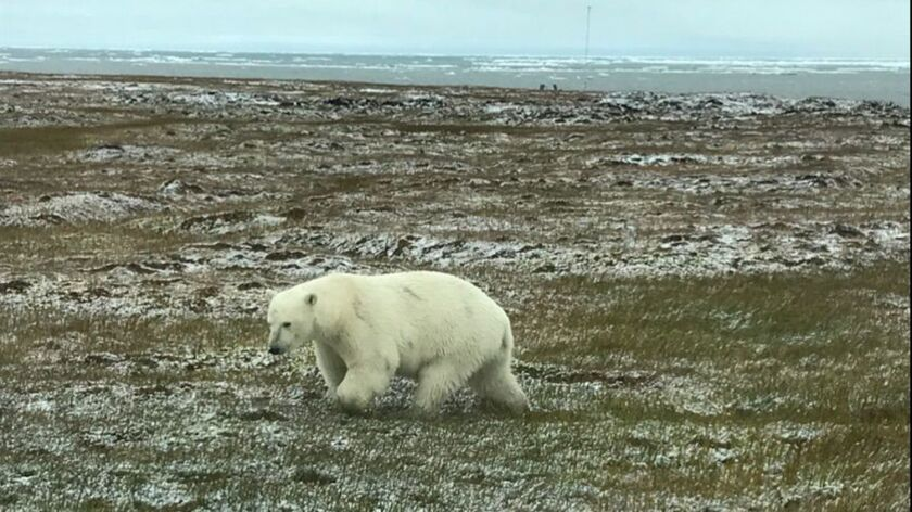 A polar bear walks near the Alaska village of Kaktovik on the Beaufort Sea in September. Groups suing over an oil-drilling plan say the Trump administration failed to consider the effects of drilling on polar bears and other endangered species.