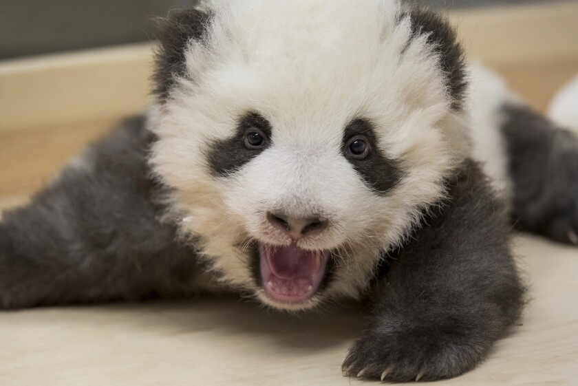One of the two panda cubs at Zoo Berlin in Berlin, Germany.